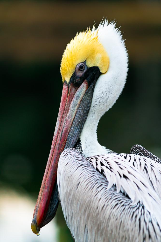 pelican_feb_2015--185