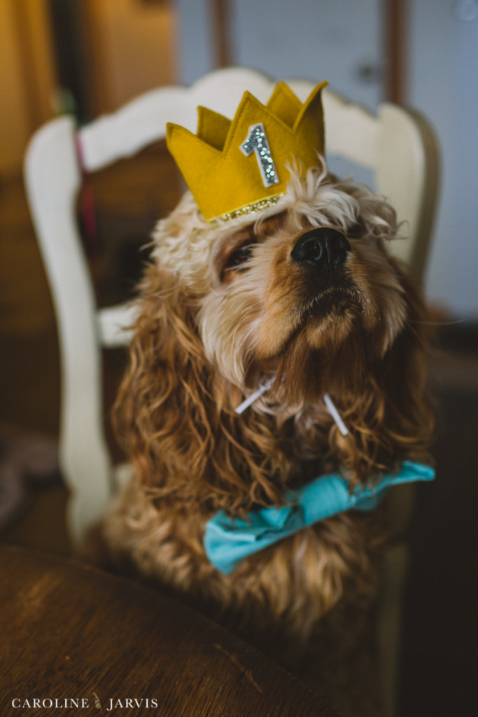 Buxton's First Birthday -Buxton, the cocker spaniel pup that lives in Buxton, NC wearing his birthday crown