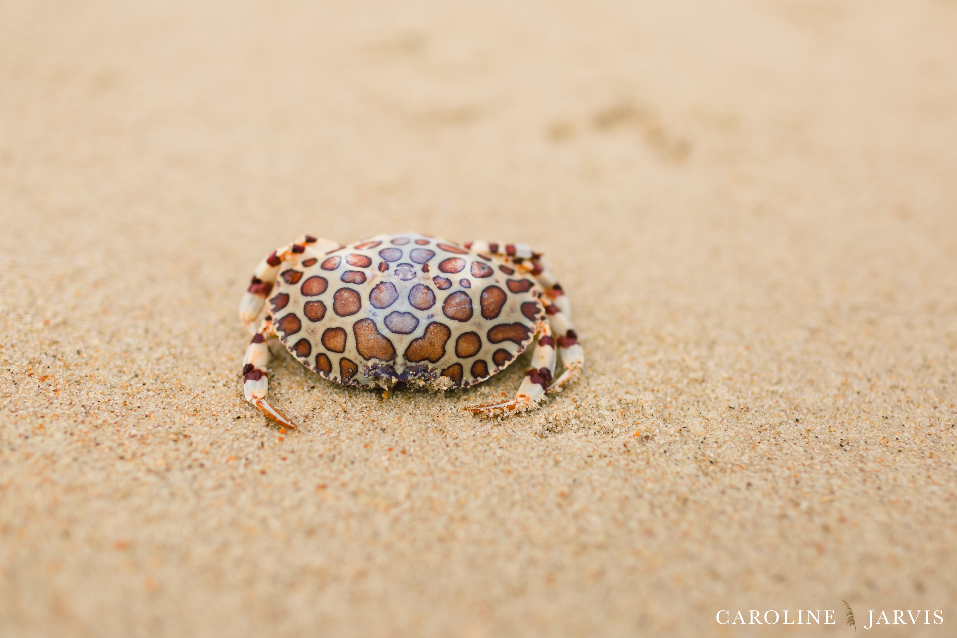 Giraffe Crab by Caroline Jarvis Photography