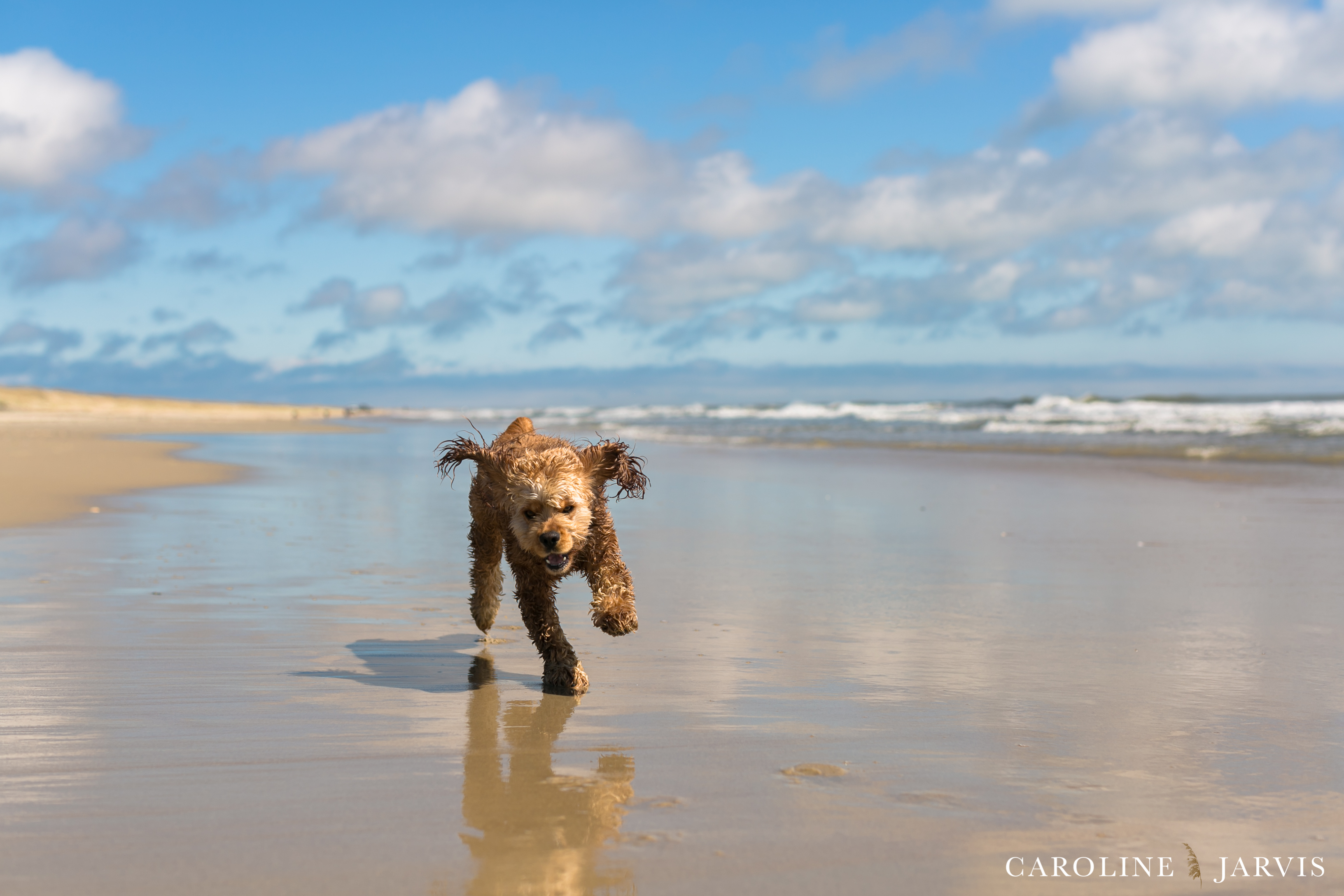 Backyard Vacations - Buxton the Cockerspaniel by Caroline Jarvis Photography